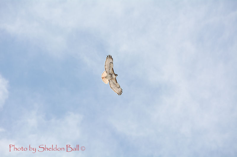 photo of a soaring hawk west of Carstairs, Alberta - Photo by Web Developer Sheldon Ball